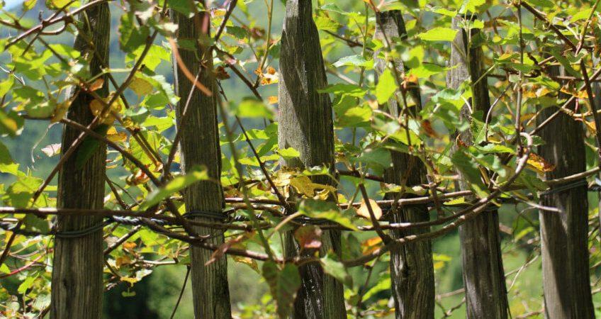 Rośliny pnące - ozdoba ogrodu