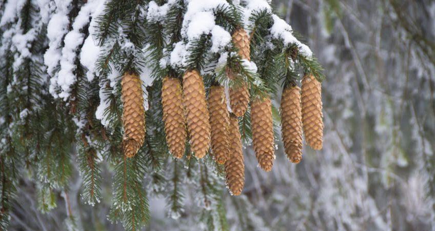 Pielęgnacja iglaków zimą – jak o nie dbać