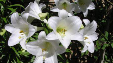 Jak sadzić ipielęgnować lilie?