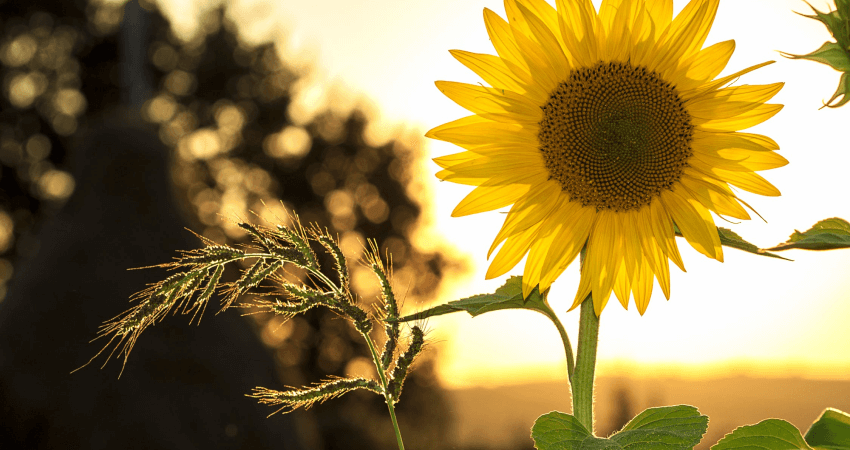 Rośliny nasłońce