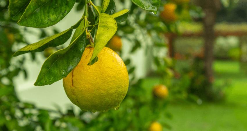 Cytryna zpestki