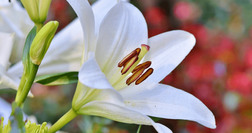 Jak sadzić lilie