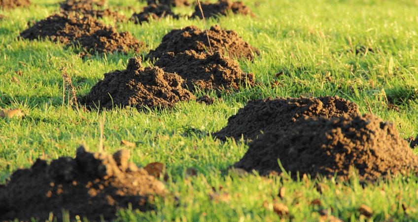 Kret w ogrodzie