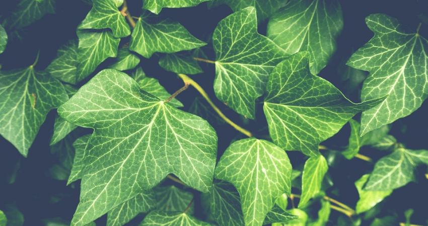 Rośliny pnące doogrodu