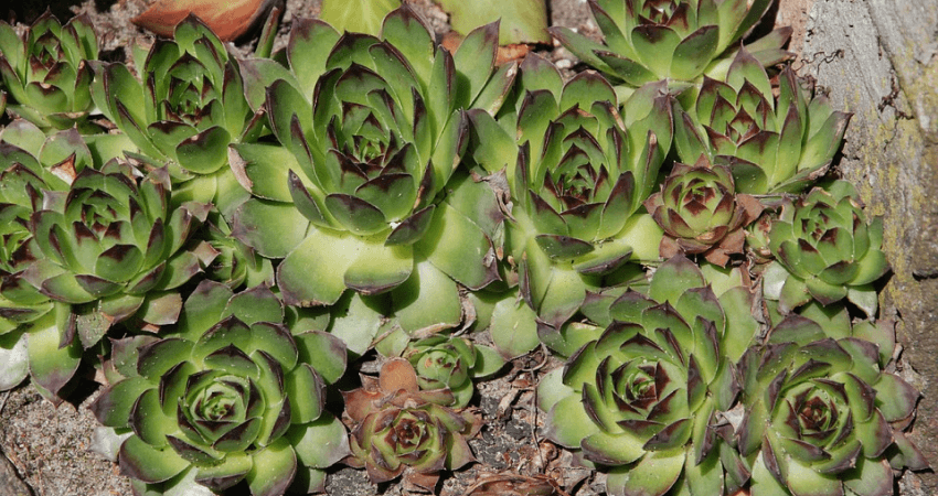 Rośliny naskalniak