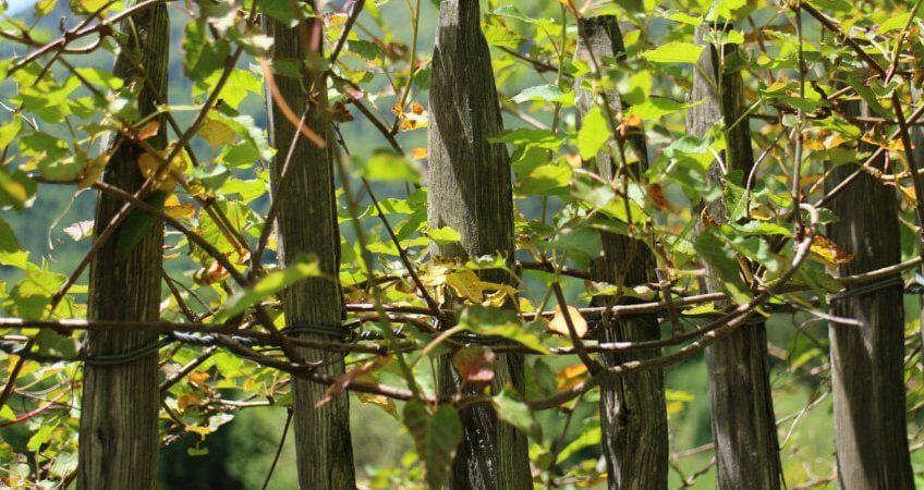 Rośliny pnące ozdoba ogrodu