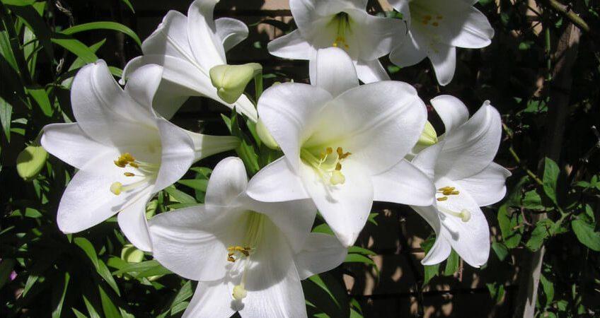Sadzenie lilii i ich pielęgnacja