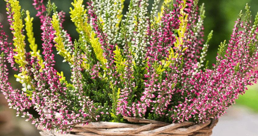 Jesienne kwiaty doniczkowe - wrzosy