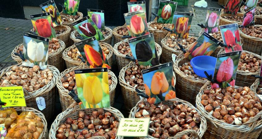 Rośliny cebulkowe - jak sadzić