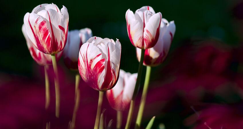 Jak sadzić cebulki - tulipany