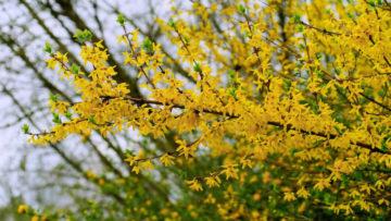 Forsycja - najpiękniejsze krzewy ozdobne doogrodu
