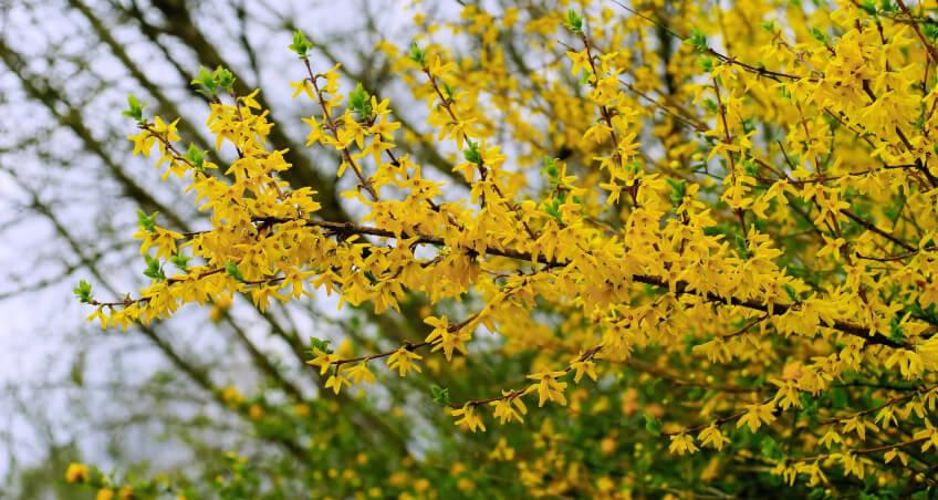 Forsycja - najpiękniejsze krzewy ozdobne do ogrodu