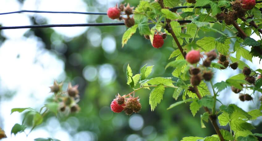 Jak dbać omaliny - pielęgnacja krzewów owocowych