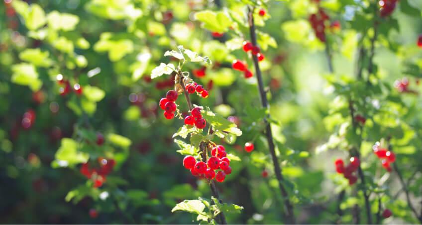 Jak dbać oporzeczki - pielęgnacja krzewów owocowych