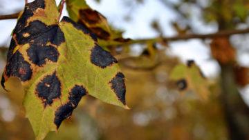 Choroby roślin wogrodzie latem