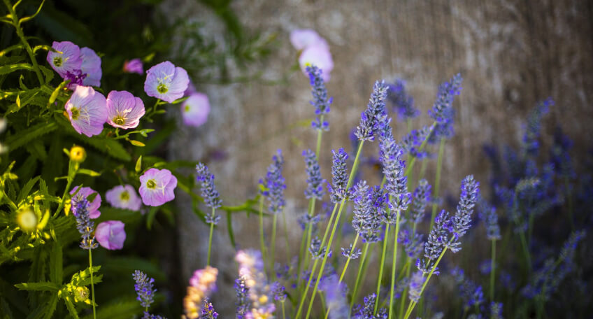Ogród prowansalski rośliny