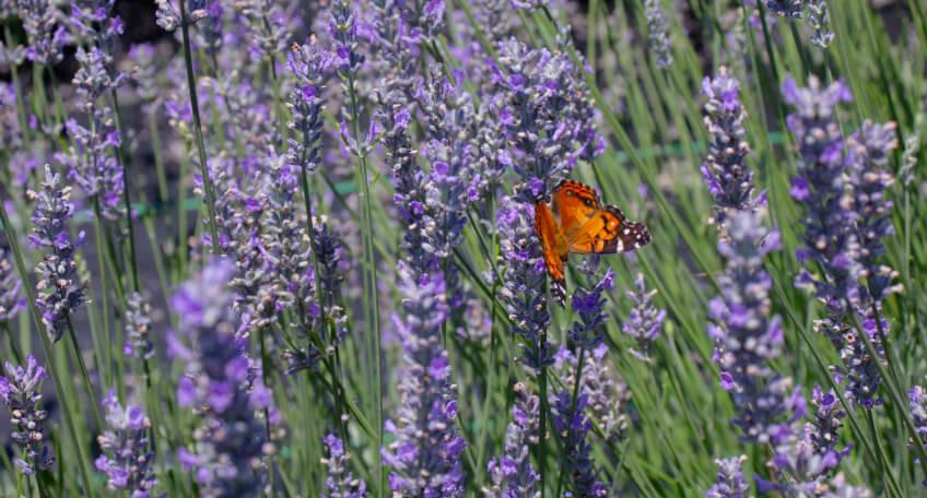 Ogród w czerwcu - kwiaty sadzone w czerwcu